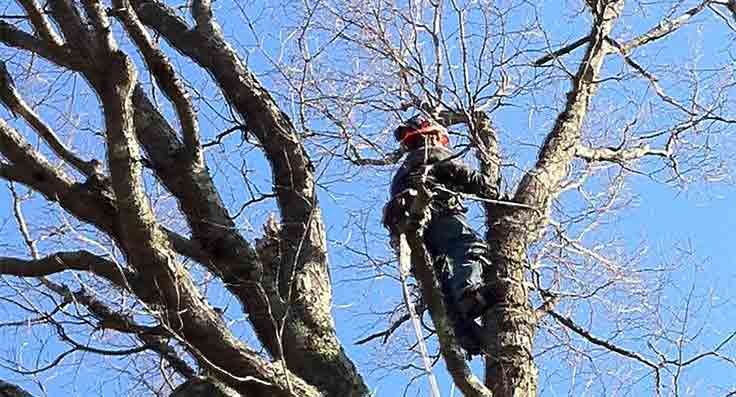 Tree trimmer in action
